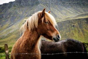 wild horses old ancient proverb